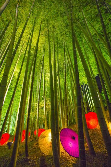 京都 高台寺 竹林 ライトアップ 写真2