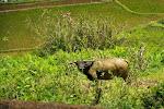 Banaue: buffle dans les rizières