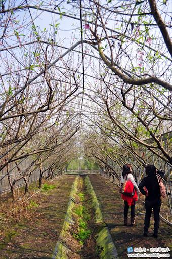 芬園花卉生產休憩園區 - 室內種植的櫻花樹
