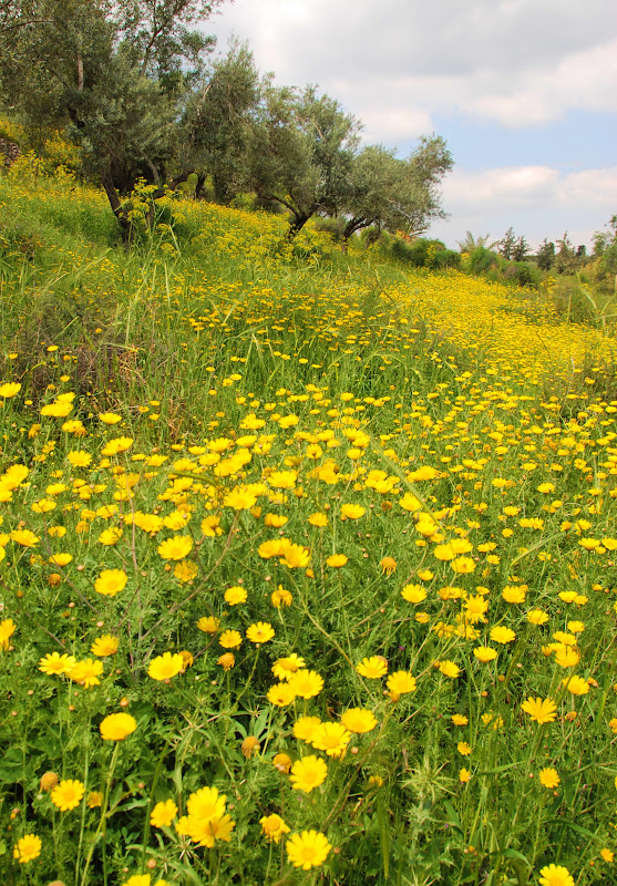 chrysanthemum field in Israel