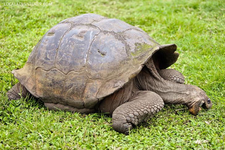 Giant Tortoise Galapagos Islands.