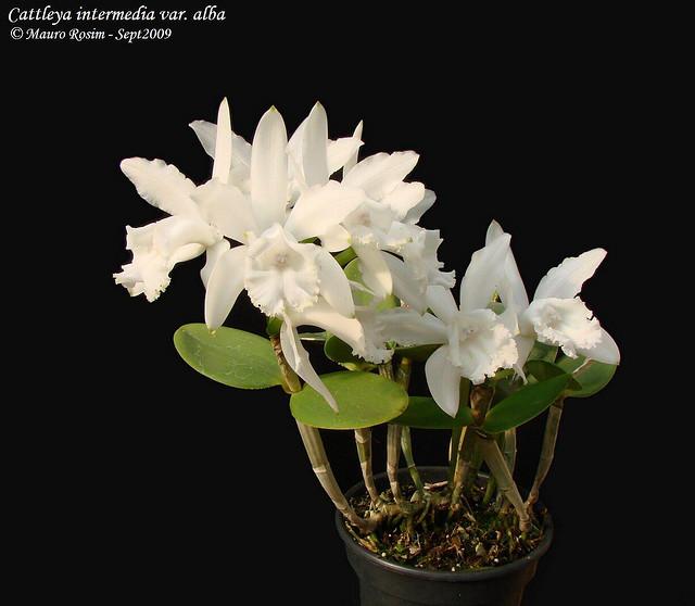Растения из Тюмени. Краткий обзор - Страница 2 Alba