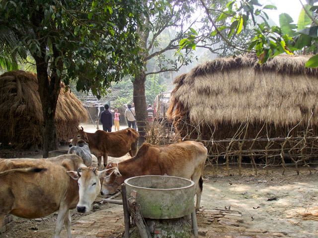 cattles in Bangladesh village