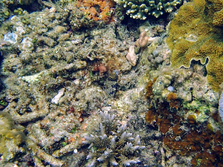Echidna nebulosa (Snowflake Moray Eel), El Nido, Palawan, Philippines.
