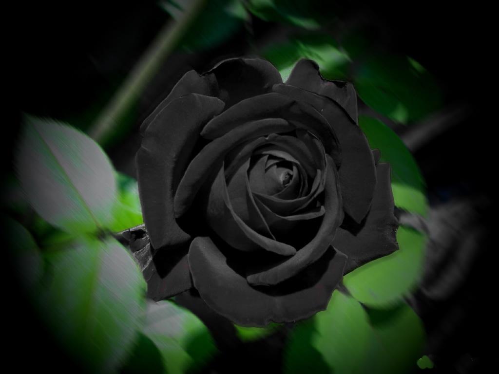 tải ảnh hoa hồng đen