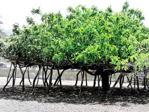 fig trees in formentera