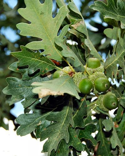 On The Nineth Day Of Yule Oak