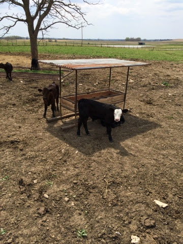 Baby calves on Kansas ranches