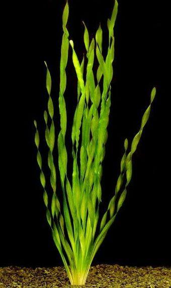 Валлиснерия азиатская (Vallisneria asiatica)