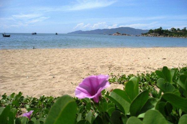 hoa muống biển trên bãi cát