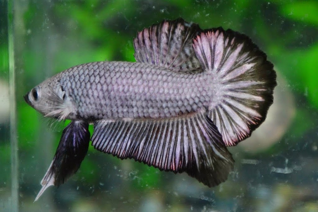 Life expectancy of betta fish betta fish life for Betta fish life span