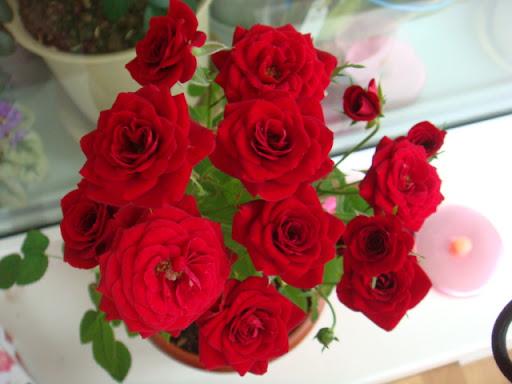 Розы в комнатной культуре - Страница 2 DSC05402