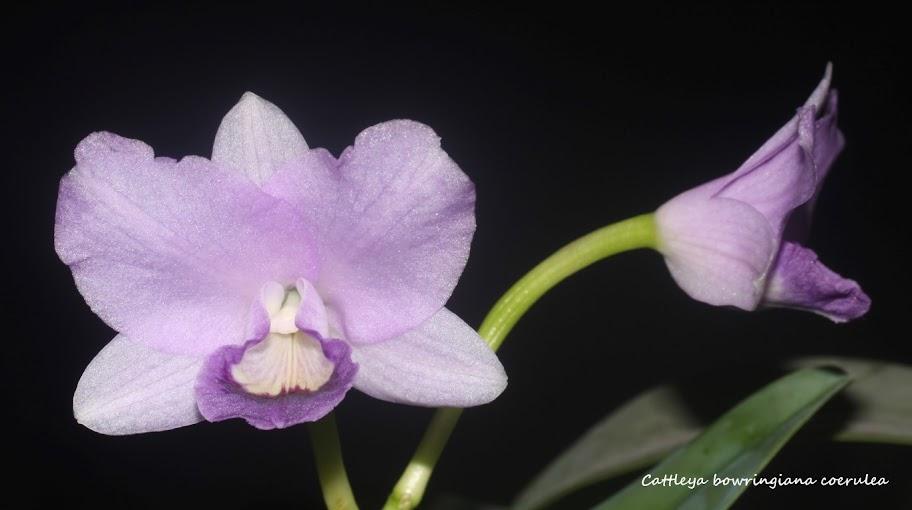 Cattleya bowringiana coerulea IMG_0249b%2520%2528Medium%2529