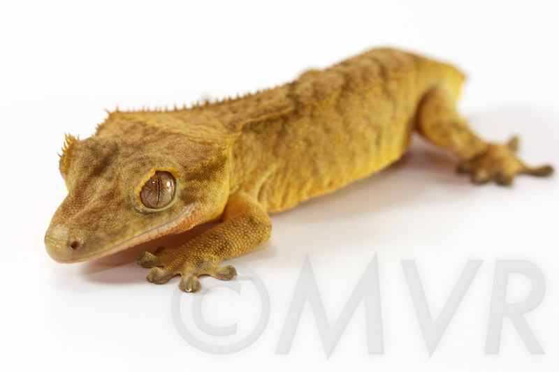 Crested Gecko Morph Guide: Colors, Morphs and Traits