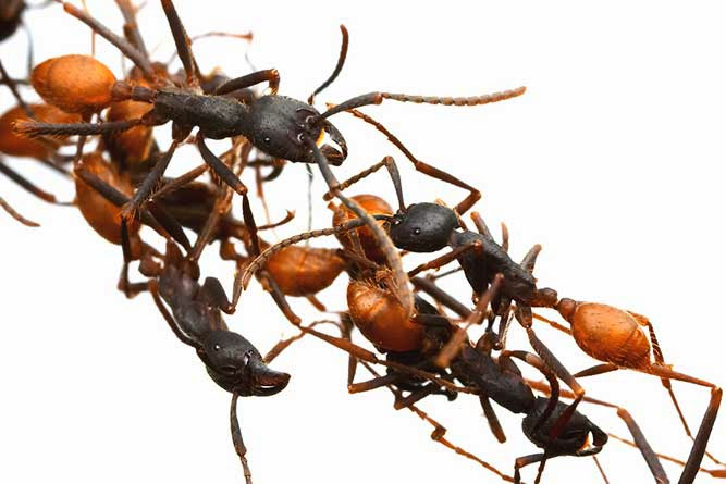 Army-Ant-Worlds-Scariest-Bug