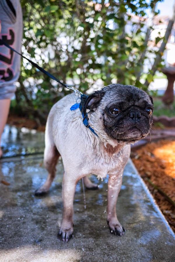 Buddy the Mischievous Pug