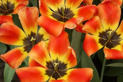 fiori Keukenhof