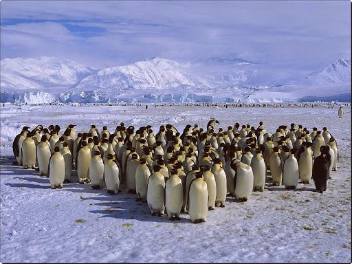 Emperor Penguin Colony, Cape Roget, Ross Sea, Antarctica.jpg