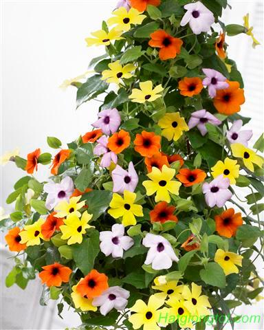 Hạt giống hoa ánh Dương