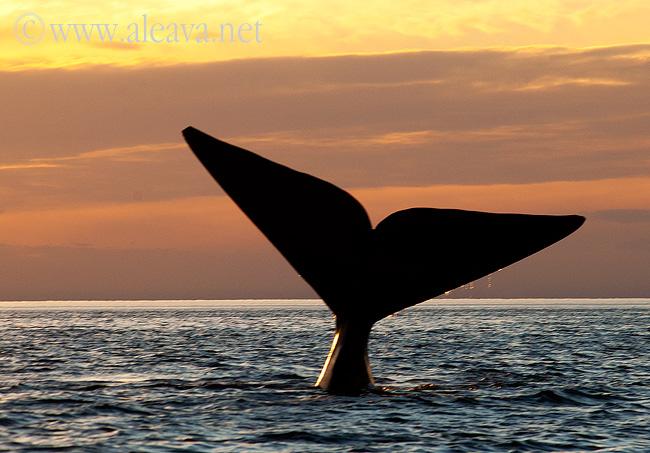 Cola de ballena en un avistaje al atardecer