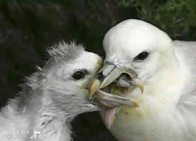 Burung Fulmar