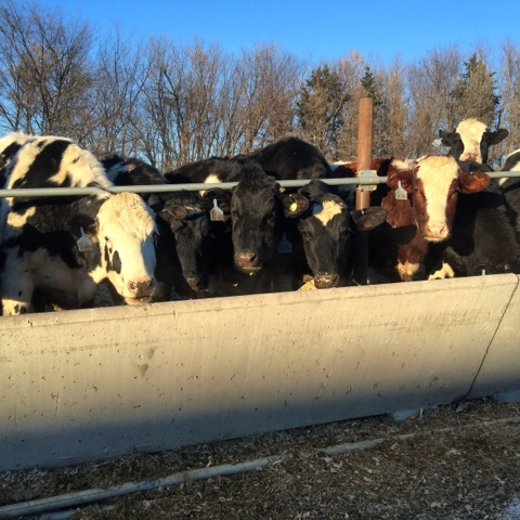 heifers at feed bunk