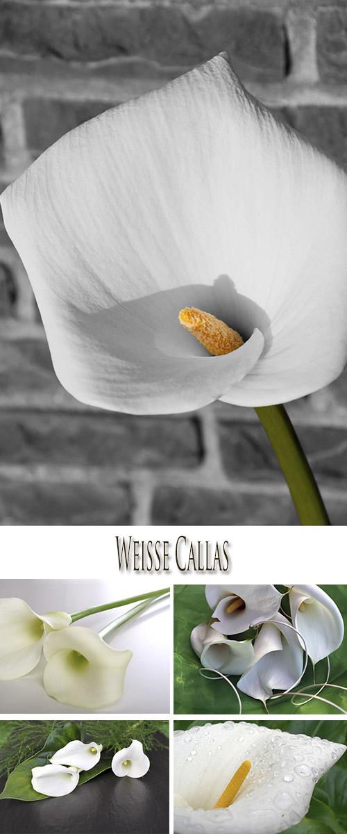 Stock Photo: White Callas