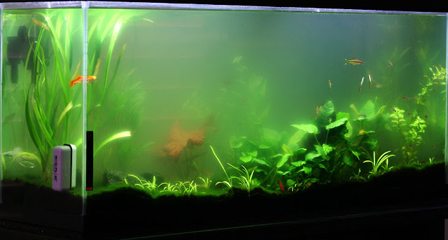 How to get rid of green water algae for Algae bloom in fish tank