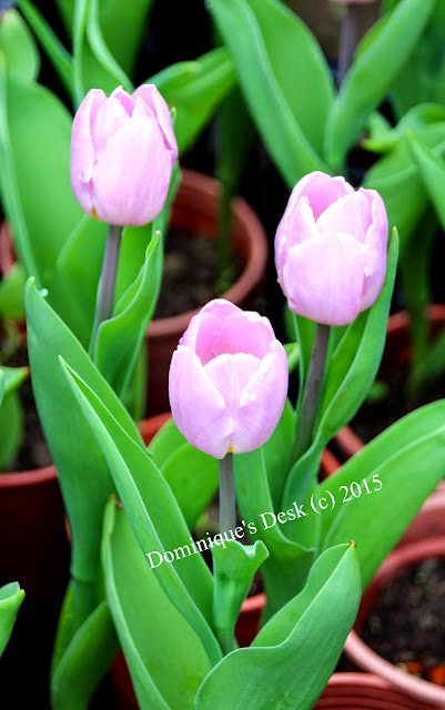 Light pink tulips in pots