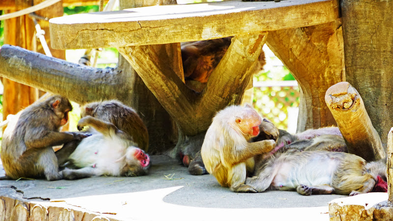 多摩動物公園 ニホンザル 写真1