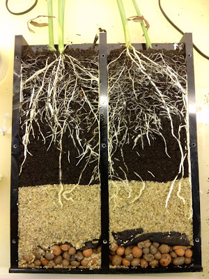 Fig: Maize roots in a rhizobox (Graduate Course: Roots and mycorrhiza 2012)