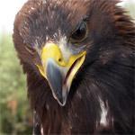 Águila real / Foto: Luis Fidel Sarmiento
