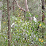 Cockatoos eating in bush (73512)