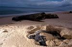 Leatherback Turtles in Cahuita National Park