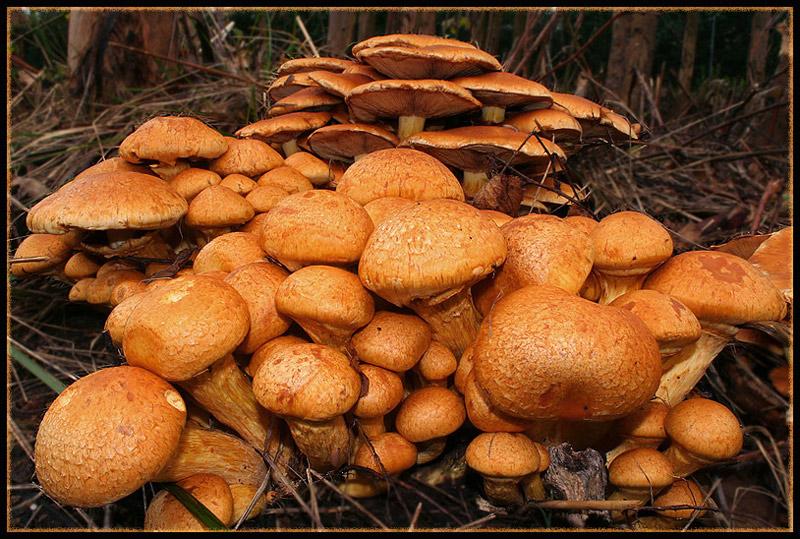 Otoño, epoca de hongos - Hongos de Eucalipto en conserva