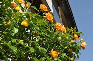 Có thể sử dụng loại hồng leo này để trồng trên các ban công.