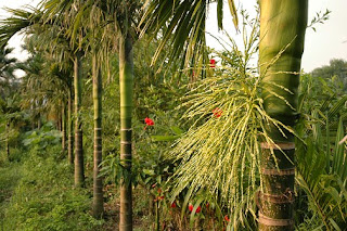 Areca trees in the peaceful village of Yen Duc
