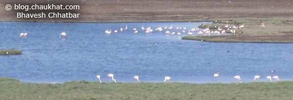 Flamingos at a water spot in Jamnagar