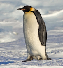 _pingüino_Emperador_