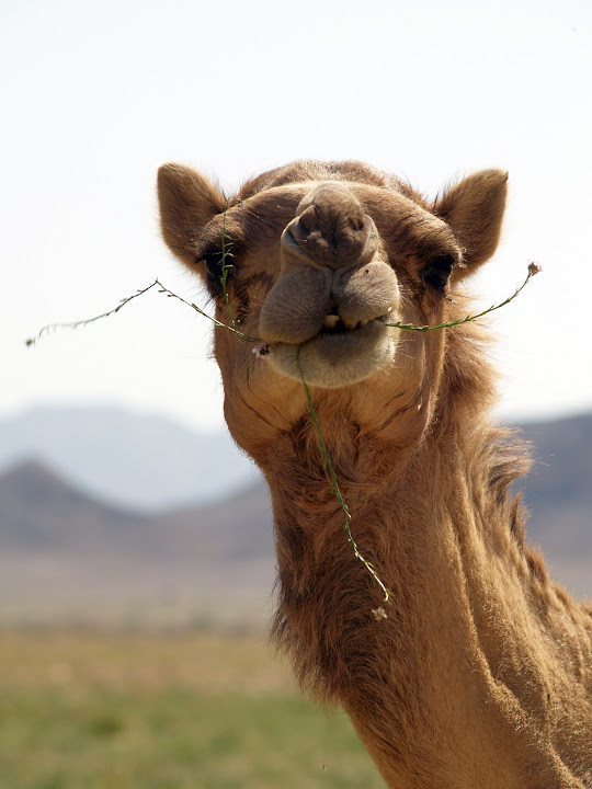 A camel munches on flowering plants before the heat of summer parches the ground.