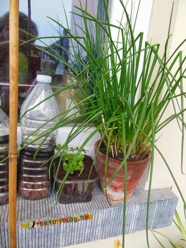 Herbs Garden Chive Plant