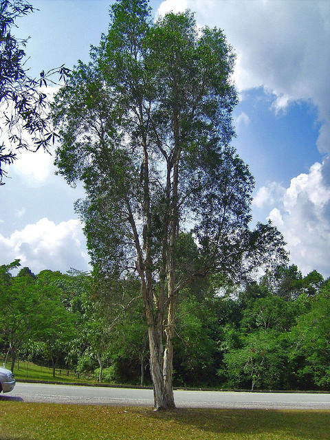 Cajeput Tree: What Makes You To Have Cajuput Oil In Your First Aid Kit