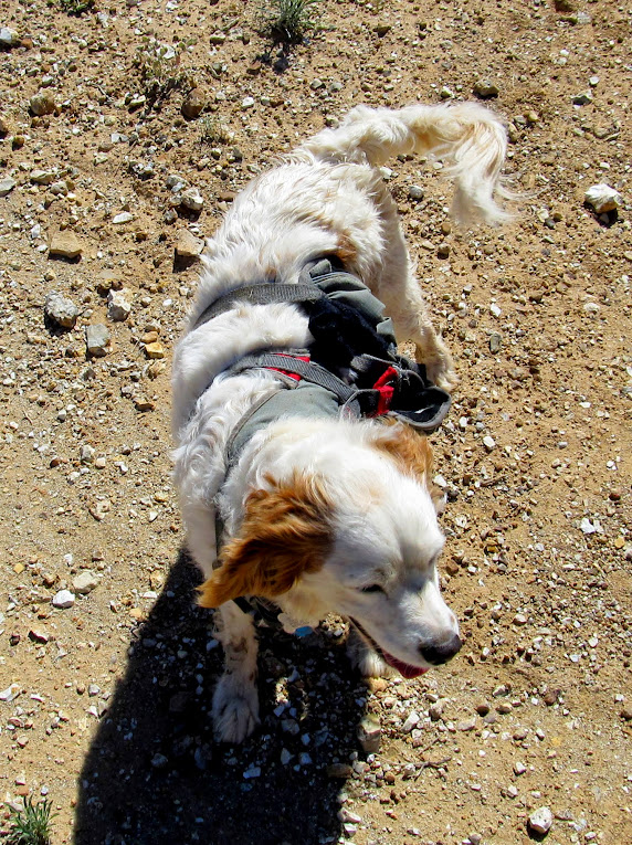 Cute Brittany Spaniel/canyoneering pup
