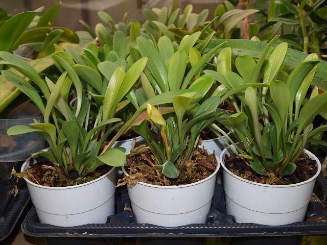 Растения из Тюмени. Краткий обзор - Страница 7 Platystele%252520misera3