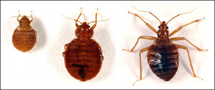 bed bug antibiotics - bedding | bed linen