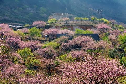 hoadao2 1349776084 480x0  Du lịch Mộc Châu những mùa hoa
