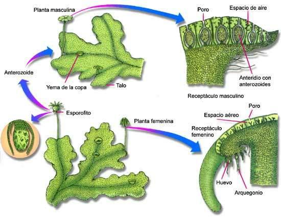 Explicar el proceso de fecundación en las plantas con flores