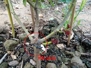 Mắt ghép của cây hồng leo, bên dưới mắt ghép thường là gốc hồng dại