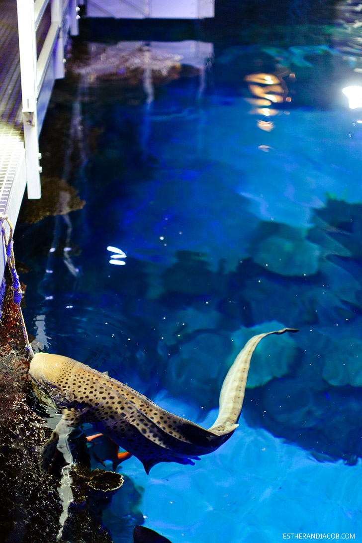 Zebra Shark Feeding at the Shark Reef Las Vegas.