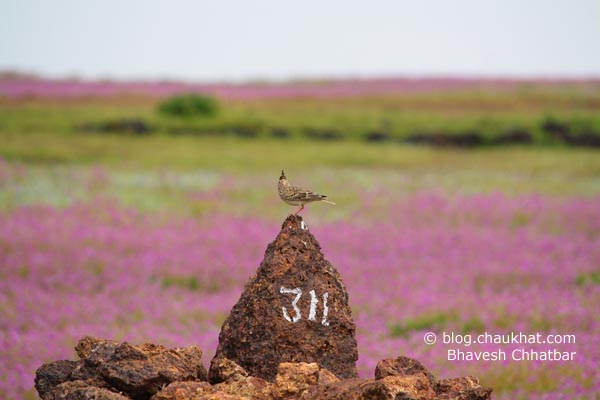 This indeed is one of the best pictures of my Kas Plateau trip. Clear flower bed background, and a beautiful bird perched on a rock!